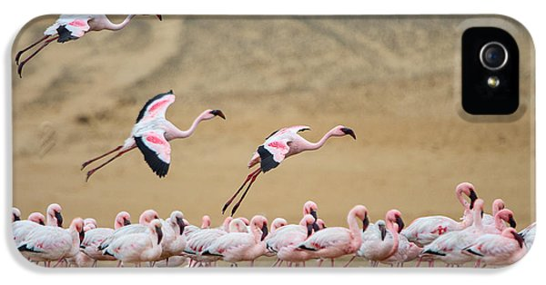 Greater Flamingos Phoenicopterus IPhone 5 Case by Panoramic Images