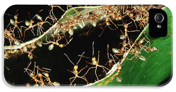 Green Tree Ants IPhone 5 / 5s Case by B. G. Thomson