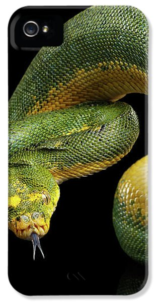 Green Tree Python. Morelia Viridis. Isolated Black Background IPhone 5 Case by Sergey Taran