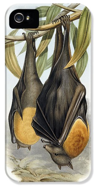 Grey Headed Flying Fox, Pteropus Poliocephalus IPhone 5 Case by John Gould