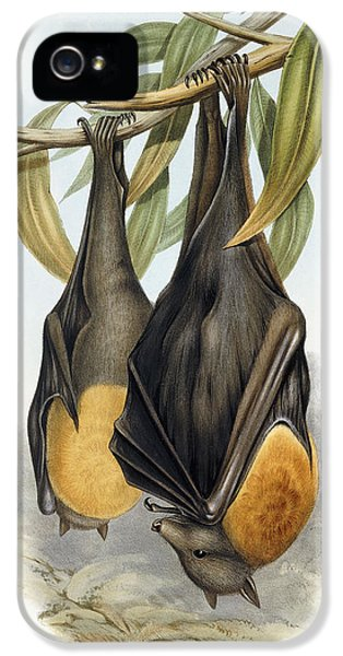 Grey Headed Flying Fox, Pteropus Poliocephalus IPhone 5 / 5s Case by John Gould