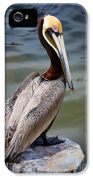 Grey Pelican IPhone 5 Case by Inge Johnsson