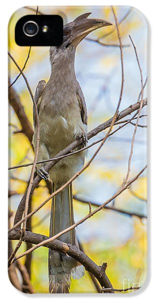 Indian Grey Hornbill IPhone 5 / 5s Case by B. G. Thomson