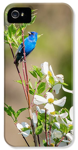 Indigo Bunting In Flowering Dogwood IPhone 5 Case by Bill Wakeley