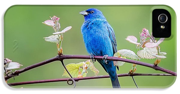 Indigo Bunting Perched IPhone 5 Case by Bill Wakeley