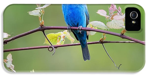 Indigo Bunting Perched Square IPhone 5 Case by Bill Wakeley