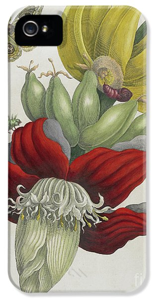 Inflorescence Of Banana, 1705 IPhone 5 Case by Maria Sibylla Graff Merian