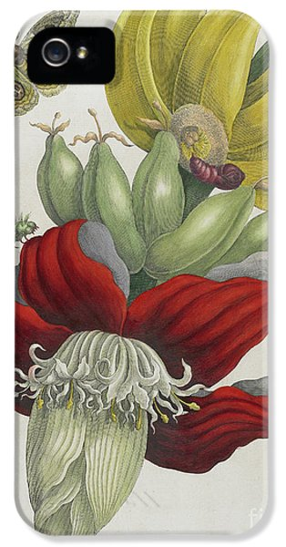 Inflorescence Of Banana, 1705 IPhone 5 / 5s Case by Maria Sibylla Graff Merian