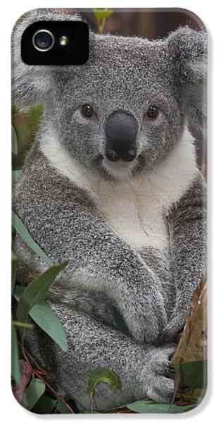 Koala Phascolarctos Cinereus IPhone 5 Case by Zssd