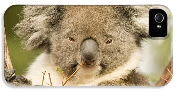 Koala Snack IPhone 5 / 5s Case by Mike  Dawson