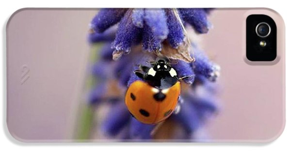 Ladybird On Norfolk Lavender  #norfolk IPhone 5 Case by John Edwards
