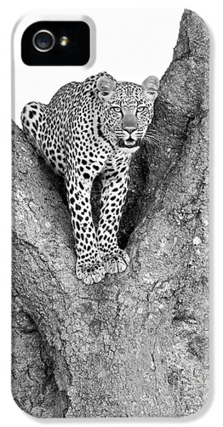 Leopard In A Tree IPhone 5 Case by Richard Garvey-Williams