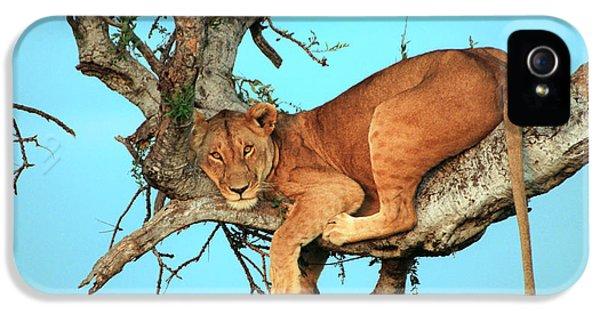 Lioness In Africa IPhone 5 Case