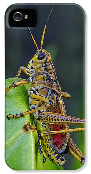 Lubber Grasshopper IPhone 5 Case by Richard Rizzo