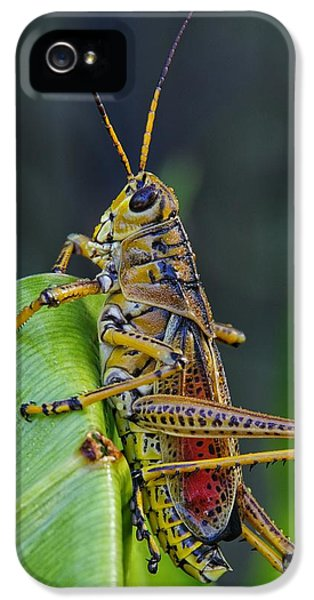 Lubber Grasshopper IPhone 5 / 5s Case by Richard Rizzo