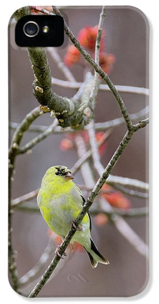 IPhone 5 Case featuring the photograph Molting Gold Finch by Bill Wakeley