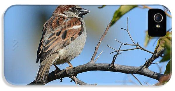 Morning Sparrow IPhone 5 Case by Fraida Gutovich