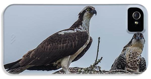 Osprey On A Nest IPhone 5 Case by Paul Freidlund
