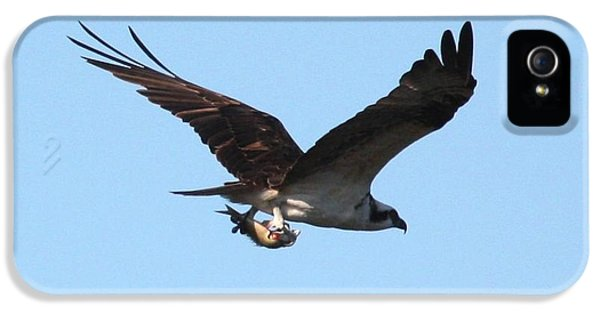 Osprey With Fish IPhone 5 Case by Carol Groenen