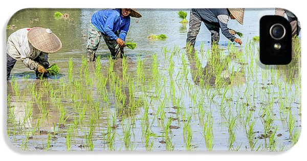 Paddy Field 1 IPhone 5 Case by Werner Padarin