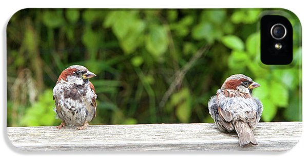 Pair Of Male Sparrows On A Fence IPhone 5 Case by Sheila Fitzgerald
