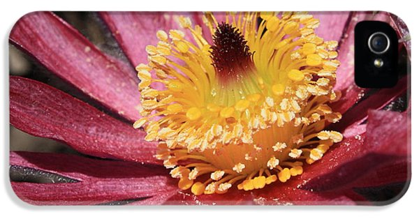 Pasque Flower Macro IPhone 5 Case by Carol Groenen