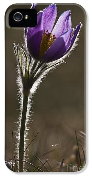 Pasque Flower IPhone 5 Case by Per-Olov Eriksson