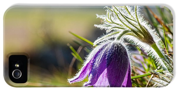Pasque Flower IPhone 5 Case by Torbjorn Swenelius
