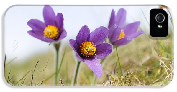 Pasque Flowers IPhone 5 Case by David & Micha Sheldon