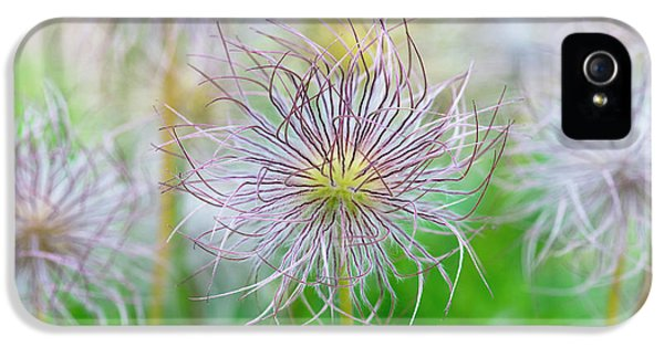 Pasqueflower Seed Heads IPhone 5 Case by Tim Gainey