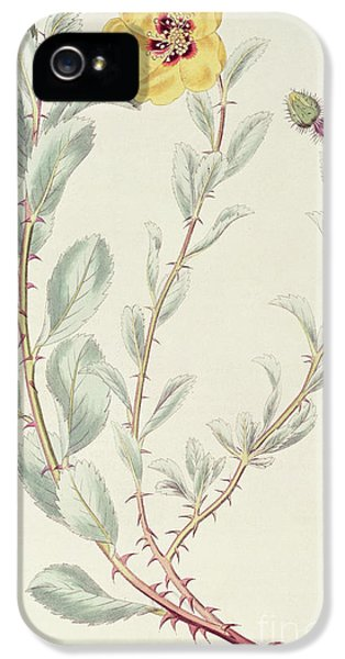 Persian Rose IPhone 5 Case by M Hart
