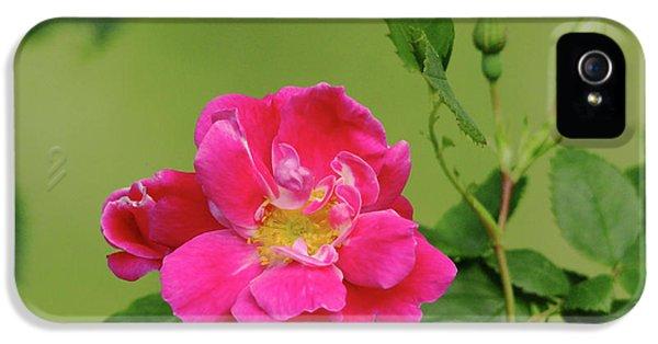 Pink Garden Rose IPhone 5 Case