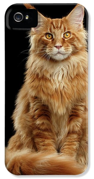 Cat iPhone 5 Case - Portrait Of Ginger Maine Coon Cat Isolated On Black Background by Sergey Taran