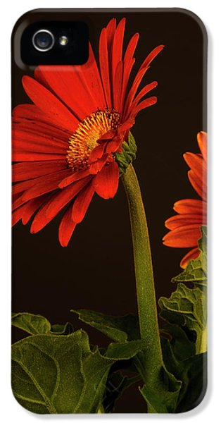 Red Gerbera Daisy 1 IPhone 5 Case by Richard Rizzo