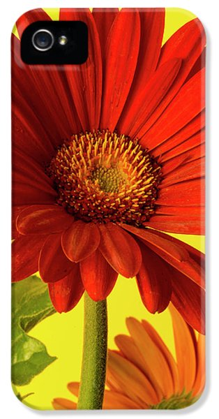 Red Gerbera Daisy 2 IPhone 5 Case by Richard Rizzo