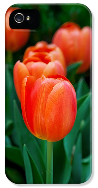 Red Tulips IPhone 5 Case by Az Jackson