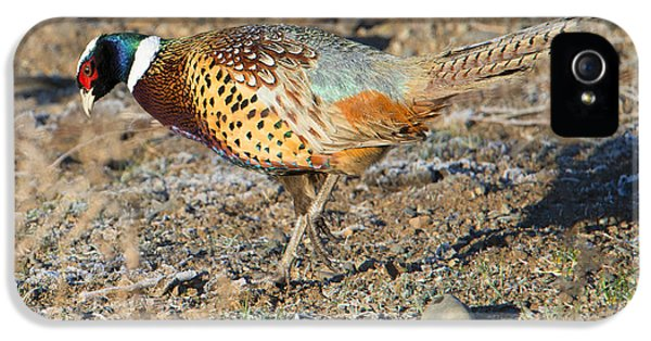 Ring-necked Pheasant Rooster IPhone 5 / 5s Case by Mike Dawson