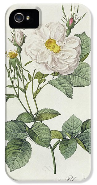 Rosa Alba Foliacea IPhone 5 Case