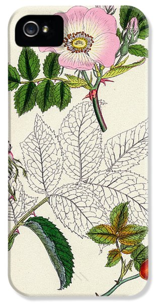Rosa Canina Common Dog Rose IPhone 5 Case by Unknown