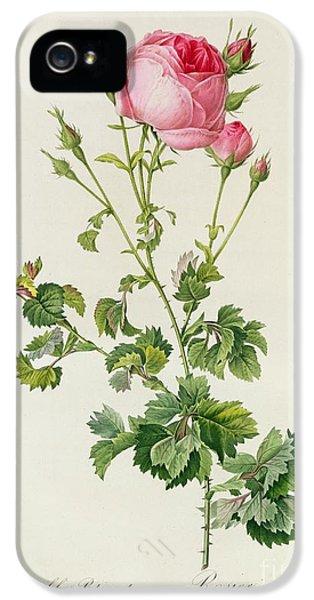 Rosa Centifolia Bipinnata IPhone 5 Case by Pierre Joseph Redoute