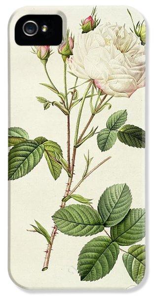Rosa Centifolia Mutabilis IPhone 5 Case