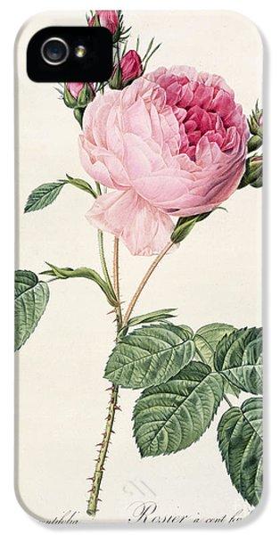 Rosa Centifolia IPhone 5 Case by Pierre Joseph Redoute