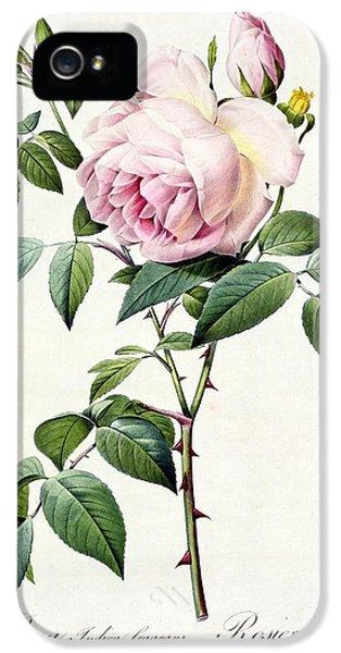 Rosa Indica Fragrans IPhone 5 Case