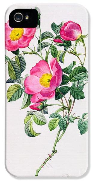 Rose iPhone 5 Case - Rosa Lumila by Pierre Joseph Redoute