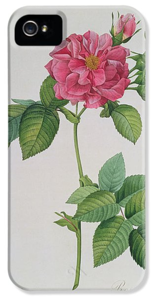 Roses iPhone 5 Cases - Rosa Turbinata iPhone 5 Case by Pierre Joseph Redoute