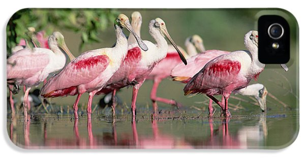 Roseate Spoonbill Flock Wading In Pond IPhone 5 Case