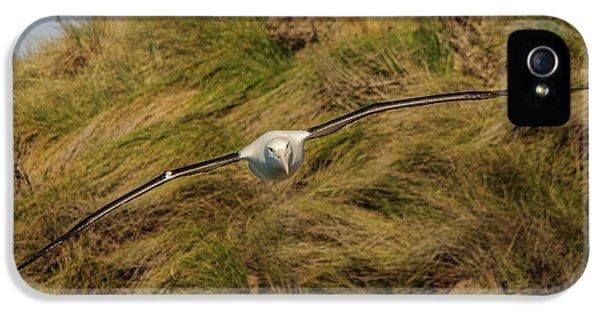 Royal Albatross 2 IPhone 5 Case by Werner Padarin