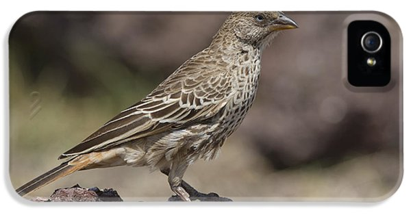Rufous-tailed Weaver IPhone 5 Case by Bernd Rohrschneider