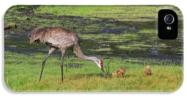 Sandhill Crane And Babies 3 IPhone 5 Case by Richard Rizzo