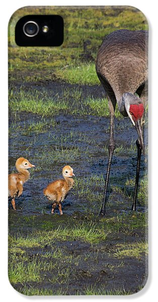 Sandhill Crane And Babies IPhone 5 Case by Richard Rizzo